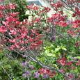 花水木とライラック